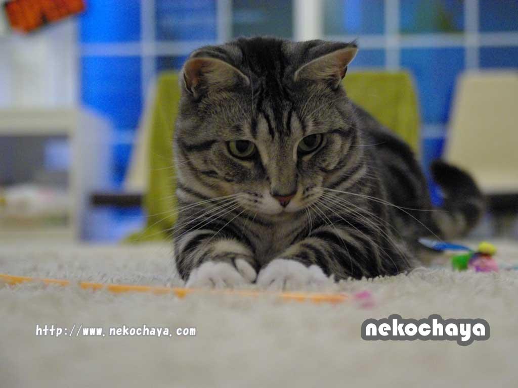 マンチカンレオン PC用猫壁紙 1024x768サイズ