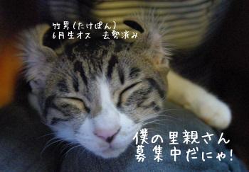里親募集中の子猫(キジ白オス)