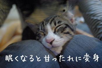 猫カフェ猫茶家にてイエネコ修行中のキジ白子猫たけぽん(竹男)