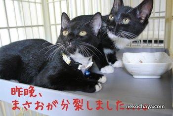 白黒タキシード猫のまさおが分裂!!!