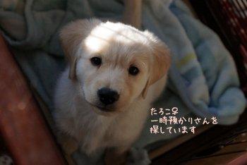 たろこ♀ mixi子犬
