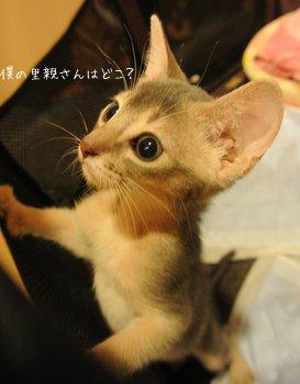 スナネズミのような猫