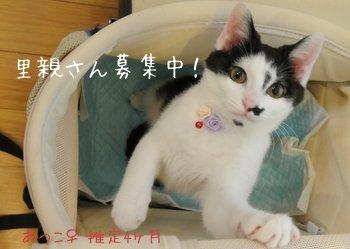 あつこ 里親さん募集中 子猫