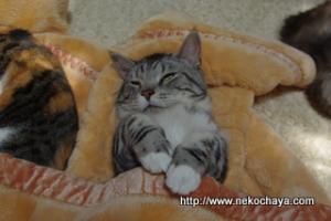 猫カフェ出社前のマンチカンレオンの寝とぼけショット1