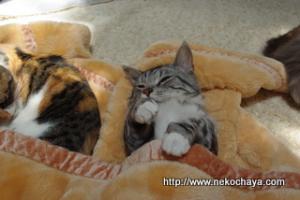 猫カフェ出社前のマンチカンレオンの寝とぼけショット2