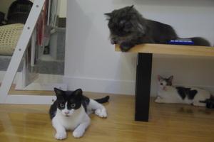 ハチワレあごひげ猫を見守る、ゴージャスマンチカンモモ