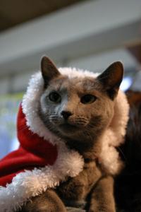 猫茶家の看板猫 14歳のロシアンブルー ハナ女王様