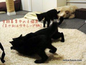 里親さん継続募集中の黒っぽい子猫たちw