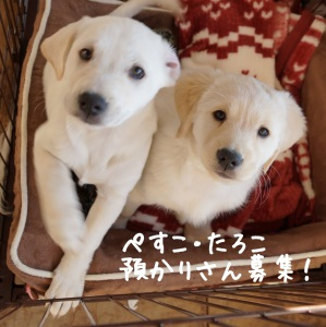 mixi子犬預かりさん募集中!ぺすこ&たろこ