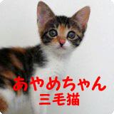 猫Staffあやめ