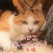猫Staff 三毛猫ふじこ(ふーちゃん)