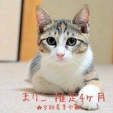 保護猫スタッフ 三毛の子猫 仮名まりこ