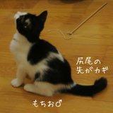 保護猫スタッフ 白黒かぎしっぽの男の子
