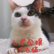 猫Staff 三毛猫しずか
